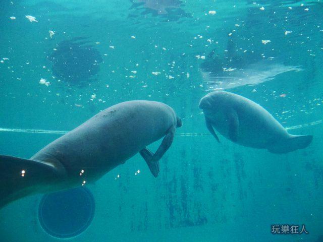 『海洋博公園』海牛館-海牛對望