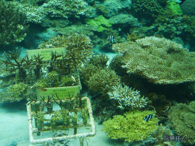 『海洋博公園』沖繩美麗海水族館-珊瑚培育