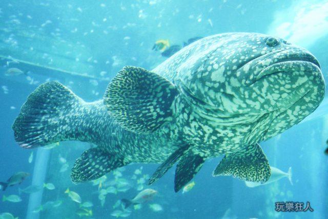 『海洋博公園』沖繩美麗海水族館-大石斑