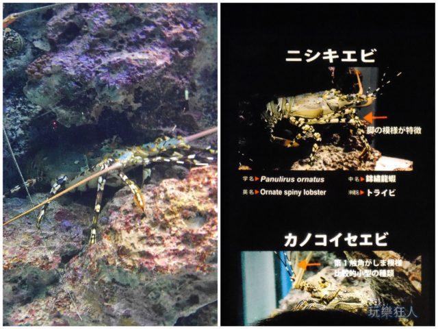 『海洋博公園』沖繩美麗海水族館-錦繡龍蝦