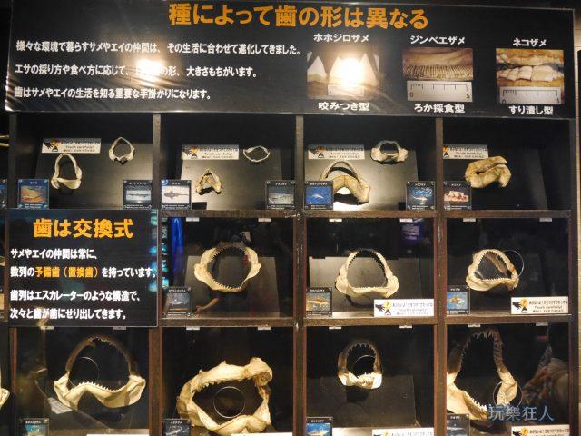 """『海洋博公園』沖繩美麗海水族館-鯊魚研究室""""鯊魚牙齒"""""""