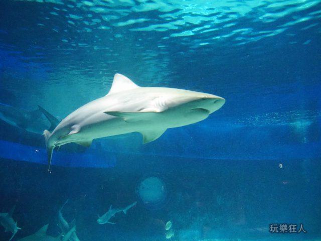 『海洋博公園』沖繩美麗海水族館-公牛白眼鮫