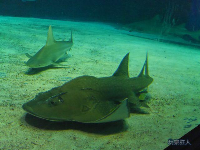 『海洋博公園』沖繩美麗海水族館-波口鱟頭鱝
